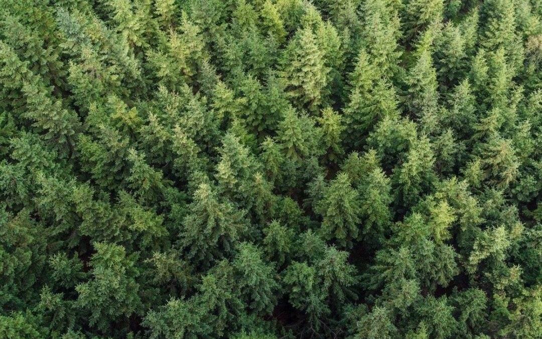 Groenblijvende bomen tegen inkijk