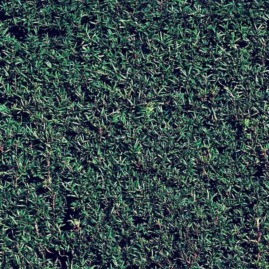 groenblijvende-bomen-tegen-inkijk-taxushaag-taxus-baccuta