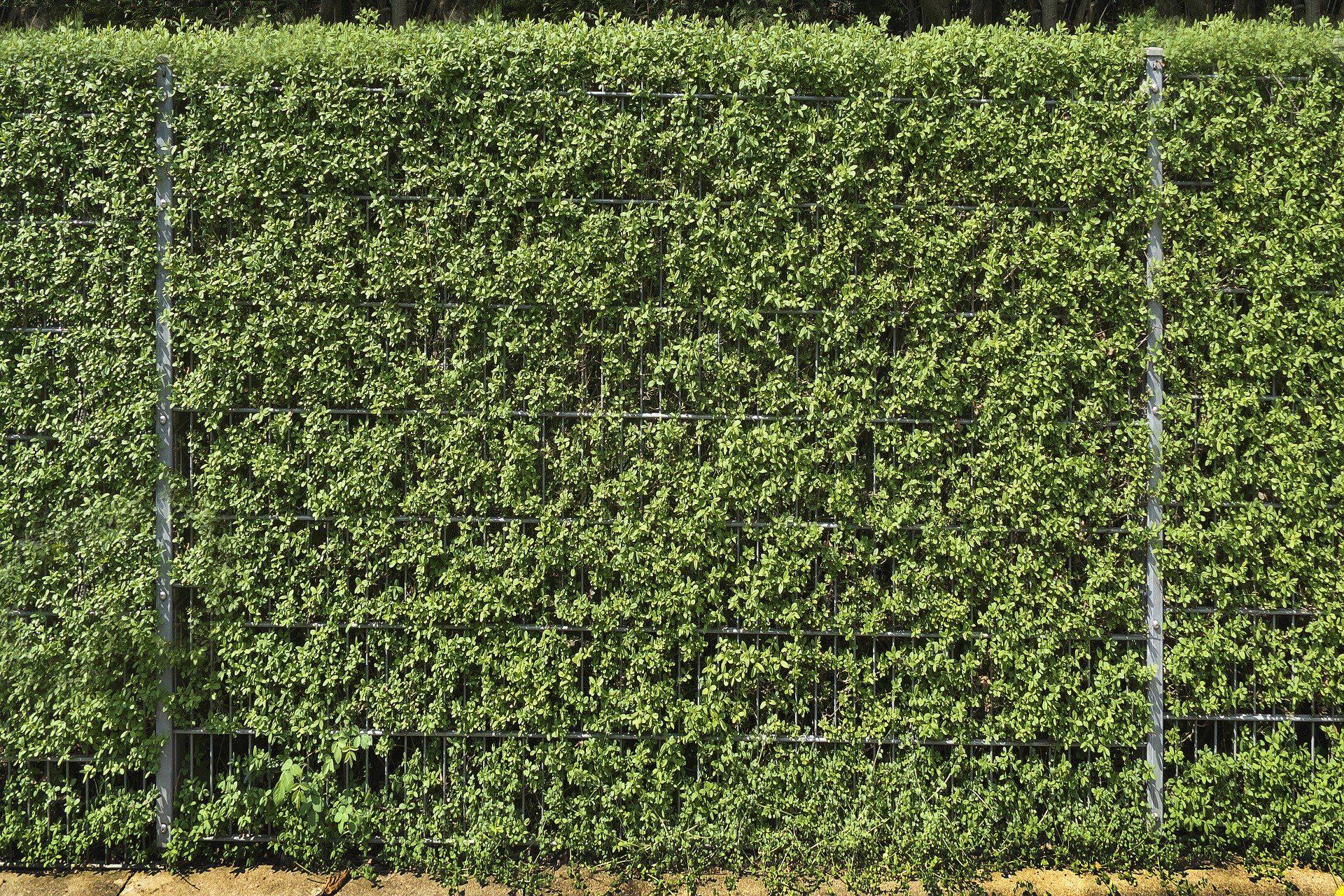 ligusterhaag-groenblijvende-bomen-tegen-inkijk