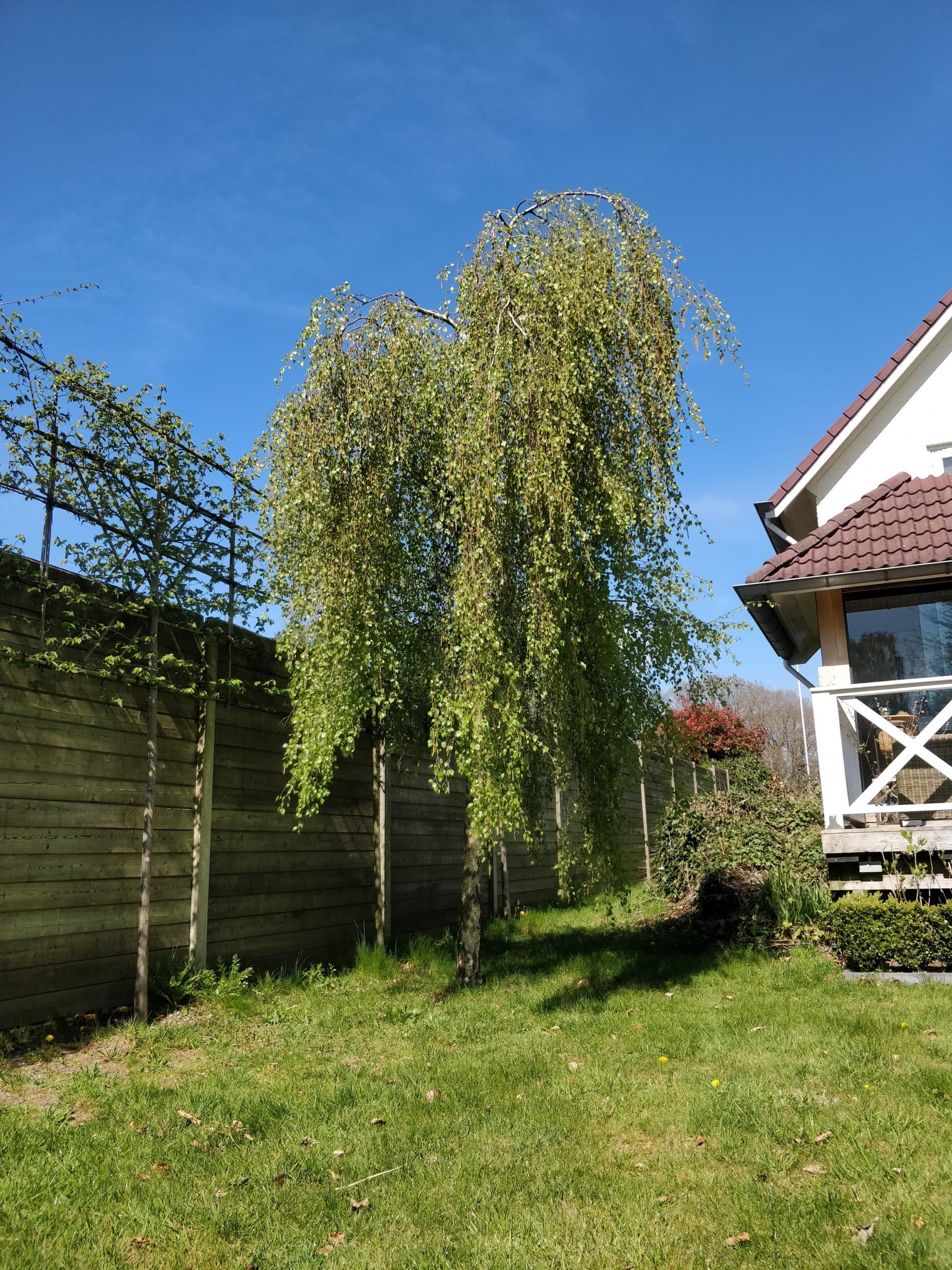 sierboom-tuin-naast-huis