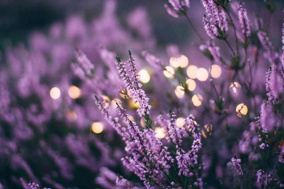 lavendel-zomerbloeiers-tuin