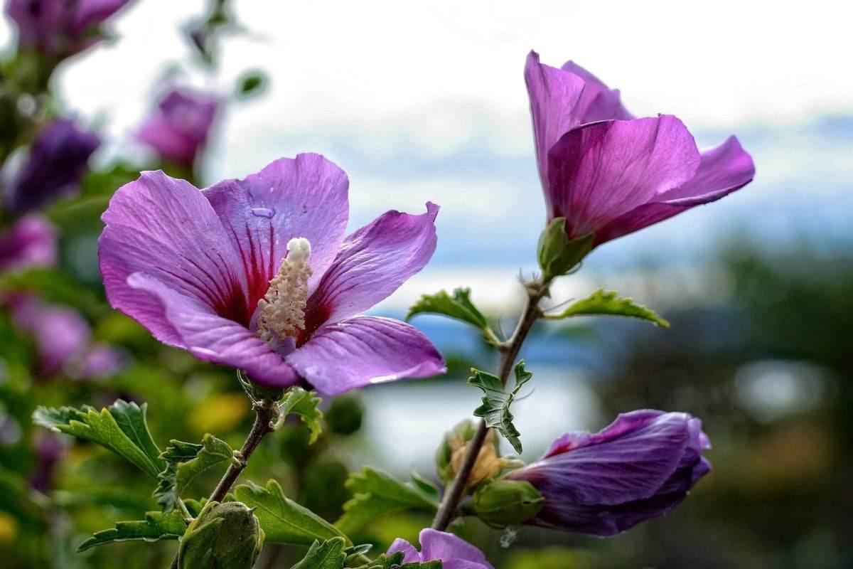 hibiscus-zomerplant-in-tuin