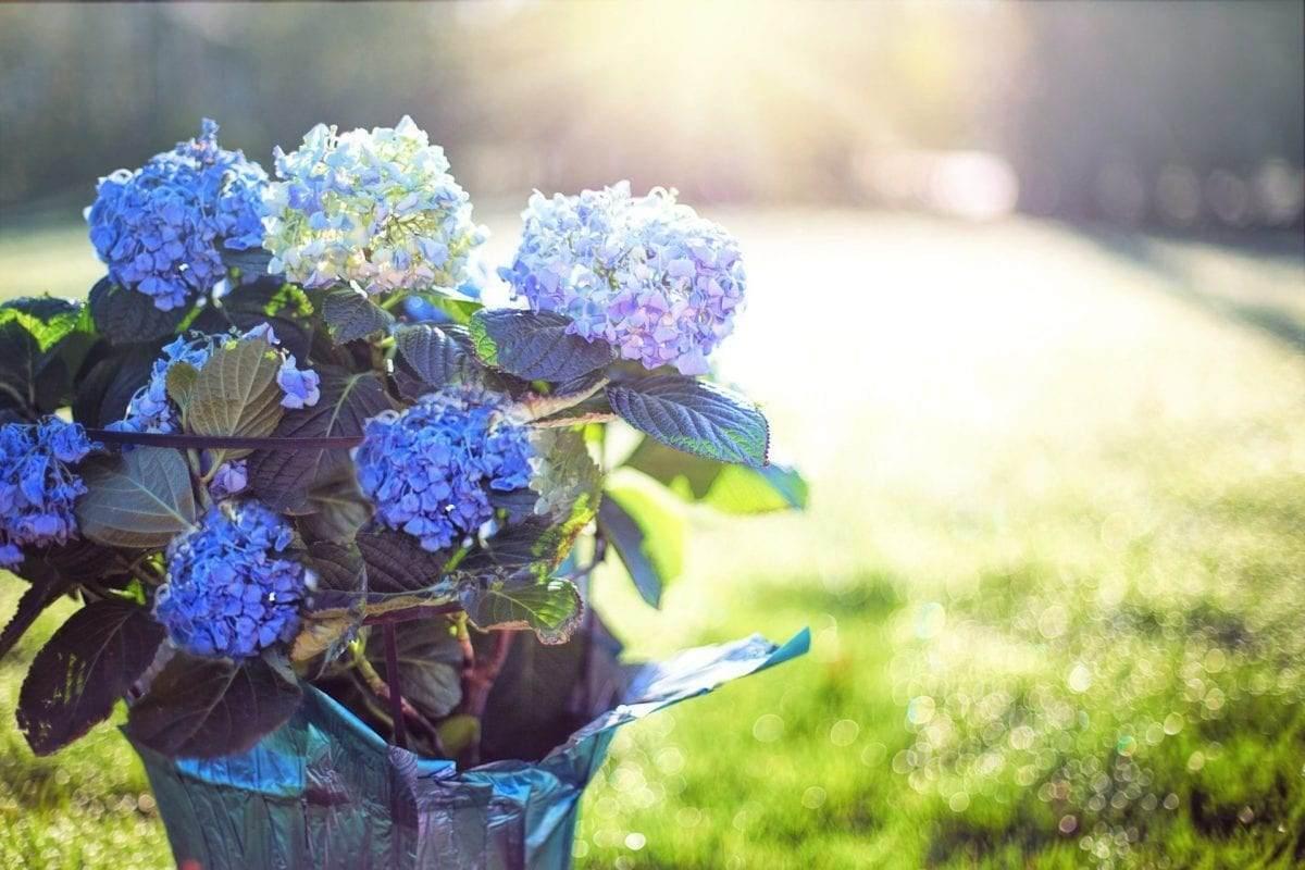 plant-voor-in-de-tuin-in-de-zomer-hortensia