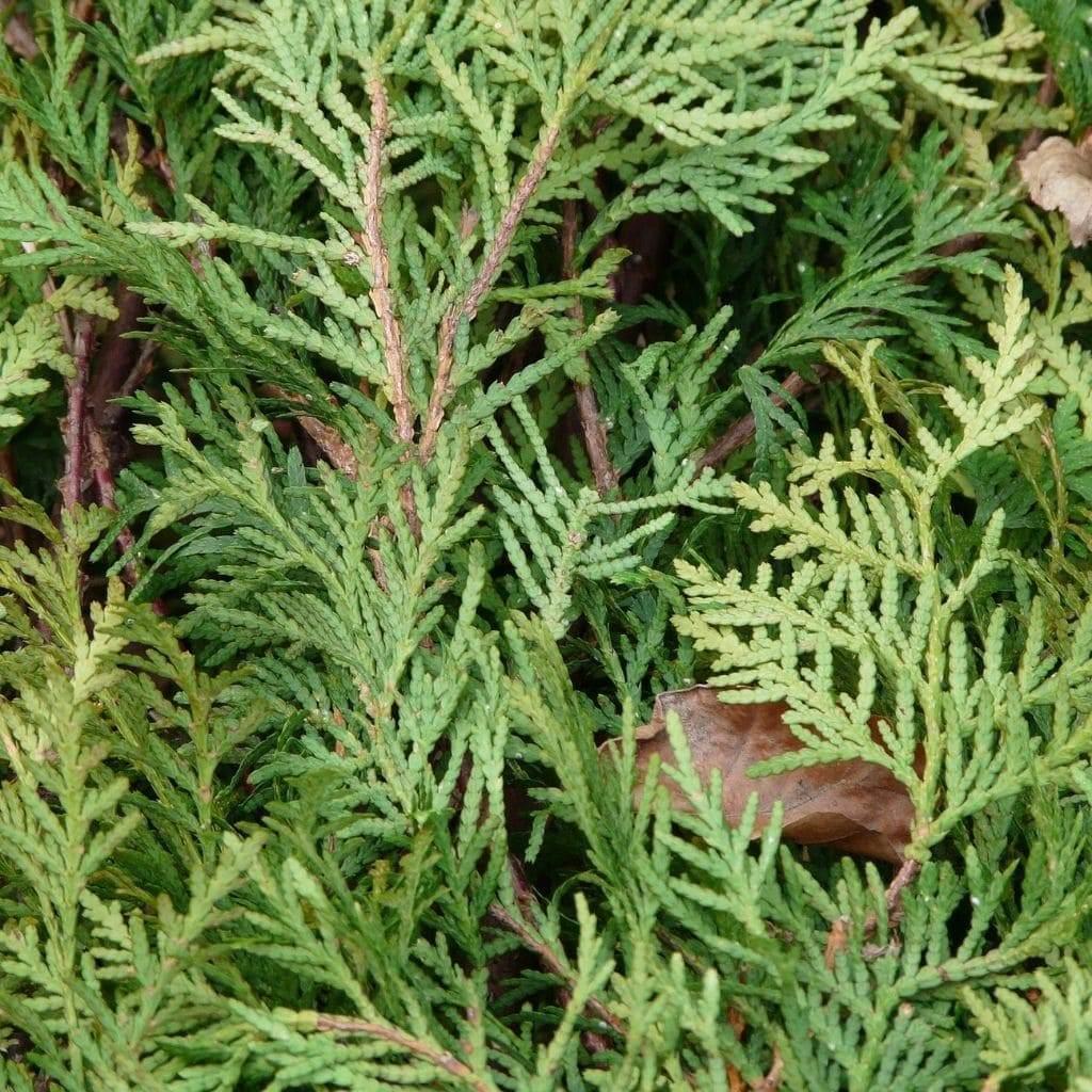 groenblijvende-bomen-winterhard-coniferen